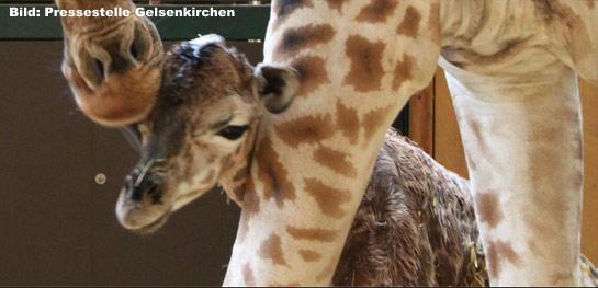 Giraffenbaby Zoom