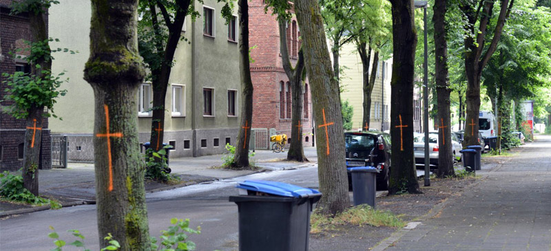 In Gelsenkirchen Erle steht die Breite Straße vor der Grundsanierung. Eigentlich erfreulich, müssten nicht fast fünfzig Linden gefällt werden.  Trotz des Kahlschlags durch Ela 2014 trifft die Maßnahme auf Zustimmung in der Politik.